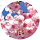 サトザクラ花エキス