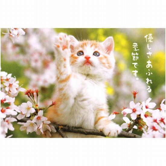 ポストカード(ネコと桜)「優しさあふれる」の画像