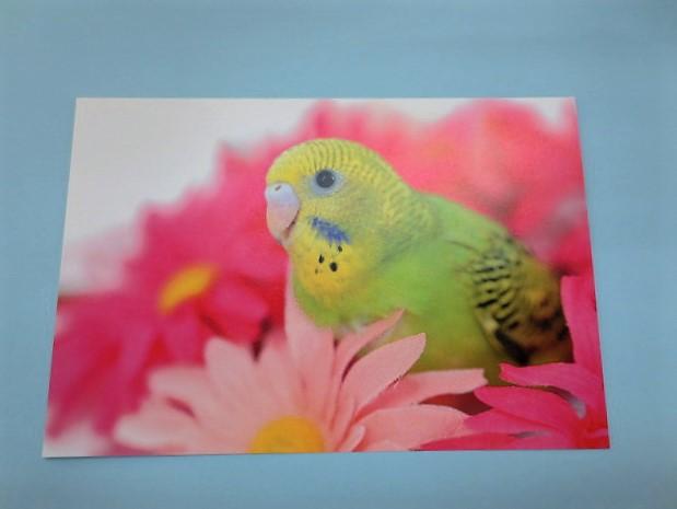 ポストカード セキセイインコ 花の中の画像