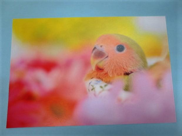 ポストカード コザクラインコ 花の中での画像