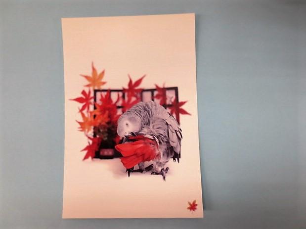 ポストカード ヨウム 尾羽根の赤が特徴の画像