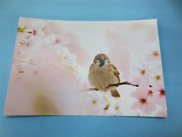 愛鳥写真家 おぴ~@とうもとさんのポストカード スズメ 桜とスズメ。裏面はかわいいスズメのイラストと写真。画像