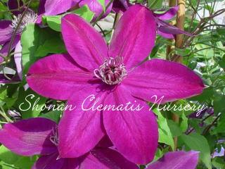 三州の紫画像