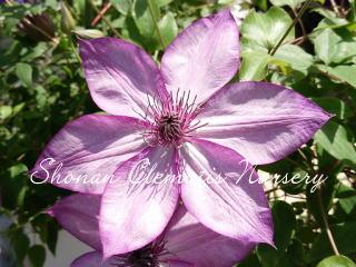 紫翠(しすい)画像