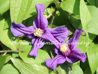 紫の妖精画像