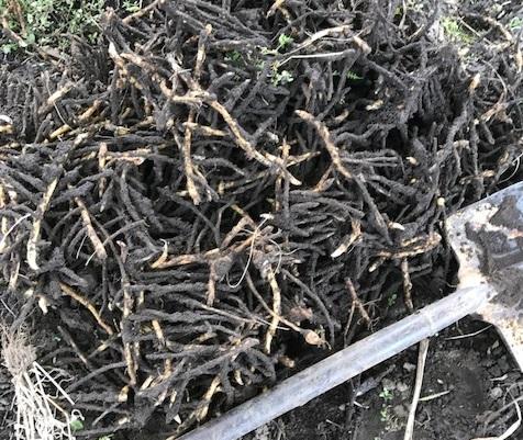 茗荷 地下茎の画像